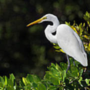 Great Egret In The Florida Everglades Poster