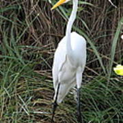Great Egret In The Green Poster
