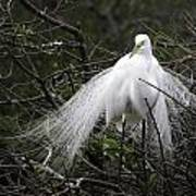 Great Egret In Tree Poster