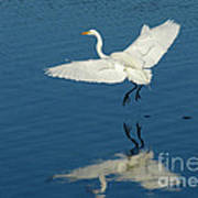 Great Egret Landing Poster