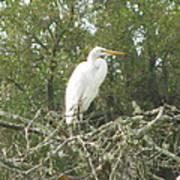 Great Egret Lookout Poster