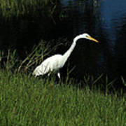 Great Egret Next To A Lake Poster