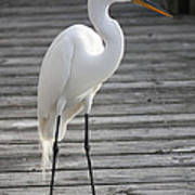 Great Egret On The Pier Poster