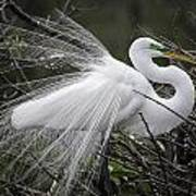 Great Egret Preening Poster