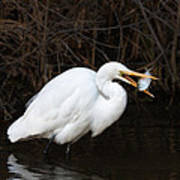Great Egret With Big Fish Poster