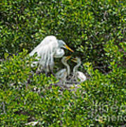 Great Egret With Chicks On The Nest Poster