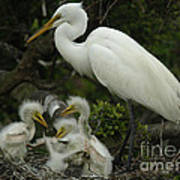 Great Egret With Young Poster