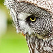 Great Gray Owl Close Up Poster