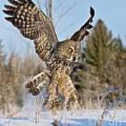 Great Gray Owl Pictures 767 Poster