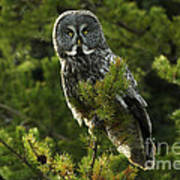 Great Grey Owl On The Hunt Poster