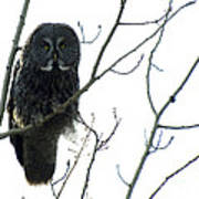 Great Grey Owl On The Lookout Poster