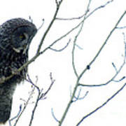 Great Grey Owl On Watch Poster