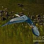 Great Heron Over Oyster Beds Poster