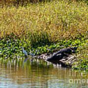Great Herons Wading Near Alligator Sunning Poster