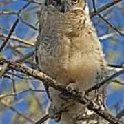 Great Horned Owl 2 Poster