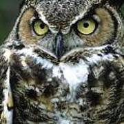 Great Horned Owl At Rest Poster