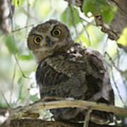 Great Horned Owl Fledgling  Poster