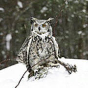 Great Horned Owl In A Winter Snow Storm Poster