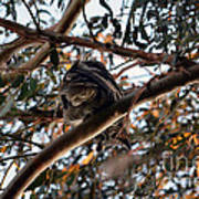 Great Horned Owl Looking Down  Poster