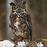 Great Horned Owl Watching You Poster by Inspired Nature Photography Fine Art Photography