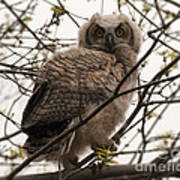 Great Horned Owlet 2 Poster