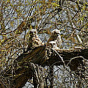 Great Horned Owlets Photo Poster