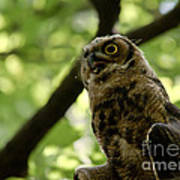 Great Horned Youngster Poster