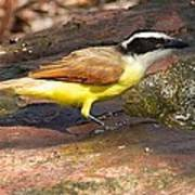Great Kiskadee Poster