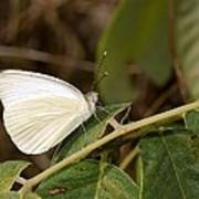 Great Southern White Butterfly Poster by Rudy Umans