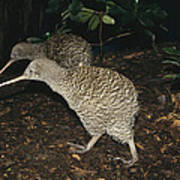 Great Spotted Kiwi Breeding Pair New Poster
