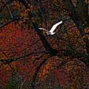 Great White Egret - Autumn Flight Poster