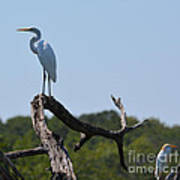 Great White Egret And Friend Poster