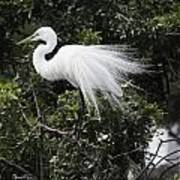 Great White Egret Building A Nest Vii Poster