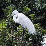 Great White Egret Building A Nest Viii Poster