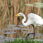 Great White Egret By The River Too Poster