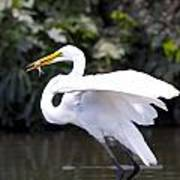 Great White Egret Eating Fish 1 Poster