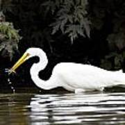 Great White Egret Eating Fish 2 Poster