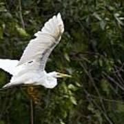 Great White Egret Flying 1 Poster