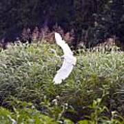 Great White Egret Flying 2 Poster