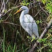 Great White Egret In The Wild Poster