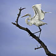 Great White Egret In Tree Poster