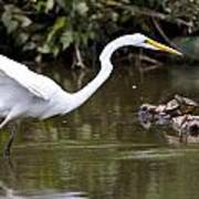 Great White Egret Looking For Fish 1 Poster