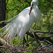 Great White Egret Primping Poster
