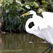 Great White Egret Show Off Poster