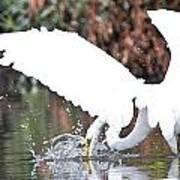 Great White Egret Splash 1 Poster