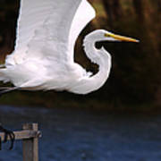 Great White Egret Takeoff Poster