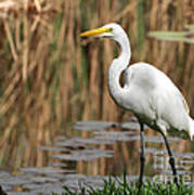 Great White Egret Taking A Stroll Poster