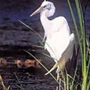 Great White Heron Poster