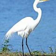 Great White Heron Poster by Julie Cameron