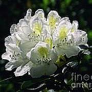 Great White Rhododendron Poster